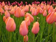 Tulip festival in Pella, Iowa.  Early May,  I have got to check it our some year.  Especially with Sarah living so close.