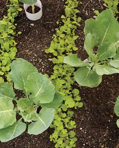 Interplanted with cole crops such as kale, brussels sprouts, cabbage, and broccoli, mustard greens serve as a trap crop for flea beetles. The beetles are attracted to the mustard first, leaving the cole crops to grow undisturbed -- at least in theory.