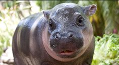 Baby pigmy hippo. Adorable