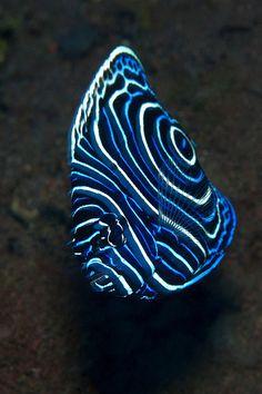 Juvenile Emperor #Angelfish