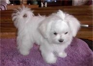 Maltese puppy cut with triangle shaped ears (instead of squared off) This would look so cute with Annies pig tails!