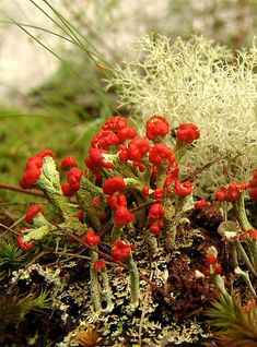 Cladonia lichen with others and moss