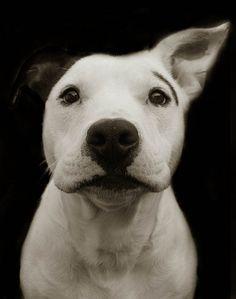 Pit bull #pitbulllove #pitbulls