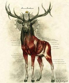 SCIENTIFIC ILLUSTRATION Artworks, Muscles, Antlers, Art Prints, Deer King, Stag, Anatomy Illustration, Drawing, Art Illustration