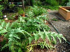 Artichokes as an edible hedge (via HipChickDigs)
