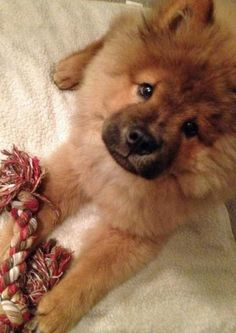 adorable chow chow...LOVE me some chows:-) :-) :-)