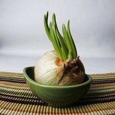 kitchens, growing garlic, 600pxgarlic growingjpg, regrow herbs, grow garlic, bulb, plants, food hacks, garden