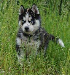 most adorable husky puppy <3