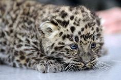 Little baby amur leopard...can you believe only 30 are left in our world? :(