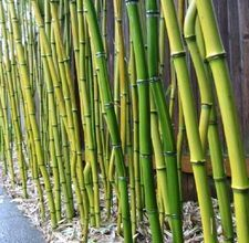 How to grow a Bamboo fence...