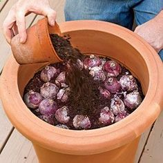How to Plant Bulbs in a Container - planting in fall and leaving outside during winter will bring forth better blooms because of the exposure to winter cold!
