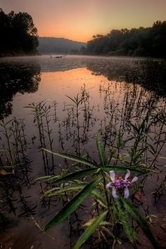 Water Willow, Missouri, USA, Photo by Robert Charity.