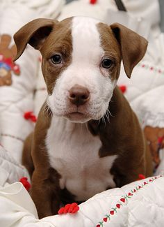 an adorable pit bull puppy