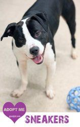 Sneakers is an adoptable Pit Bull Terrier Dog in Woodbridge, NJ. You guessed it... Sneakers is yet another stray pit bull that arrived at the shelter fully equipped with his leash and collar on, but n...