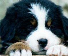 bernese mountain puppy! ADORABLE.