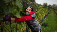 via BBC: Harvest at an English vineyard The late spring and warm summer of 2013 has led to a late English wine harvest. A week into November, grapes are still being picked from some vines - as growers wait for fruit sugar levels to rise.  To view, click on image or here http://www.bbc.co.uk/news/in-pictures-24832175