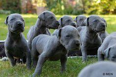 Baby Danes! Cute
