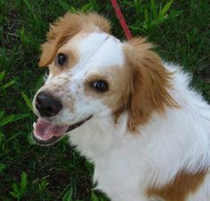 Nate - Spaniel/English Cocker Spaniel mix - 1 yr old - Fluffy Dog Rescue - Hartland, WI. - http://rescue.fluffydog.net/Adoptable_dogs.html - https://www.facebook.com/pages/Fluffy-Dog-Wellness-Rescue/54101026353 - https://www.petfinder.com/petdetail/25952149/