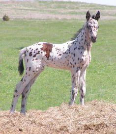 Appaloosa filly foal CTR Ranch