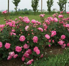 Thrive!® Good 'n Plenty | Star® Roses and Plants
