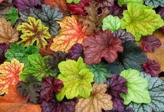 Beautiful collage of heuchera varieties