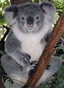 Female Koala. Koalas walk on all four legs when walking on the ground.