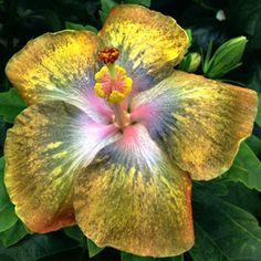 Tropical Hibiscus 'Thunder Egg'
