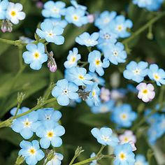 from 20 Perennial Flowers: Forget-me-not (Myosotis sylvatica) Must-haves for lightly shaded woodland gardens, these much-loved plants bear tiny but exquisite blue flowers in spring in mild climates.  'Baby Blue', a hybrid from Proven Winners, has true blue flowers and grows 6 to 8 inches tall.