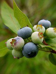 Highbrush Blueberry