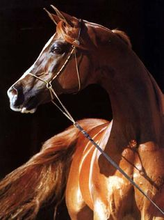 """Nariadni"", Russian Arabian Stallion."