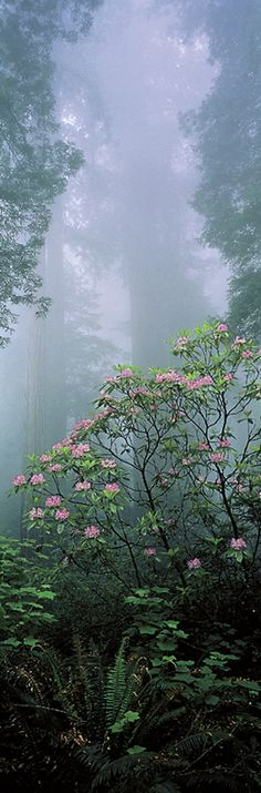 Rising from the Mist, Redwood National Park, California