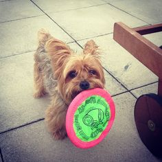 Look who is having so much fun with the frisbee! @oscarorlins! Love my baby!  Look who is having so much fun with the frisbee! @oscarorlins! Love my baby!