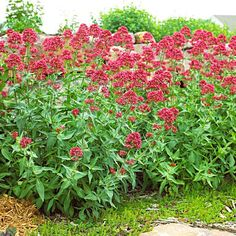 Valerian - blooms nearly nonstop from spring through fall in well-drained sunny sites. Deadhead the plant to prevent it from spreading by seed and to speed rebloom.