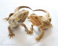 bearded dragon!\