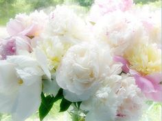 Herbaceous and Itoh peonies are propagated by root division, and sometimes by seed. Tree peonies can be propagated by grafting, division, seed, and from cuttings, although root grafting is most common commercially.