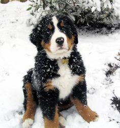 Jake!!! PLEASE.  Can I have him?? Bernese Mountain dog.