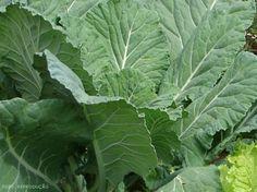 Horta - como plantar Couve (Brassica oleracea) #alncanceosucesso