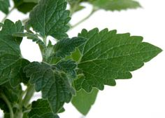 Everything You Need to Know About Catnip!