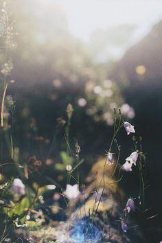 Bluebells in the sun //