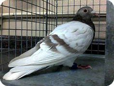 Las Vegas, NV - Rock Dove/Rock Pigeon. Meet NORMAN a Pet for Adoption at @Adopt-a-Pet.com and @The Animal Foundation