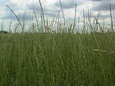 Tall wheatgrass, Szarvasi-1 variety in Hungary