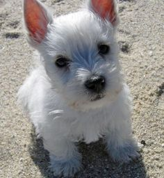 I want a Westie so bad