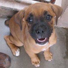 Chynna is a sweet and smiley #boxer blend #puppy looking for a new family. You can #adopt her in #SanDiego!
