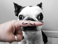 moustach, funny pics, french bulldogs, dog lovers, funny pugs, like a sir, terrier, puppi, little dogs