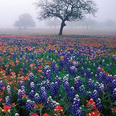 Texas Bluebonnets and Indian Paintbrush<3