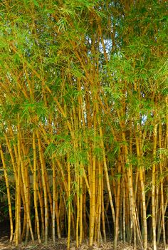 Bamboo trees swaying.