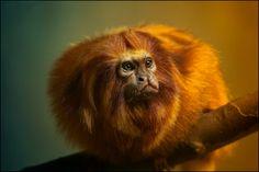 golden lion tamarin by Sonja Probst, via 500px
