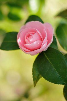 Pretty Camellia.