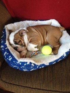 Bulldog puppy sleeping soundly.