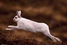 Mountain Hare (Lepus timidus), (by jamesamoore.co.uk)